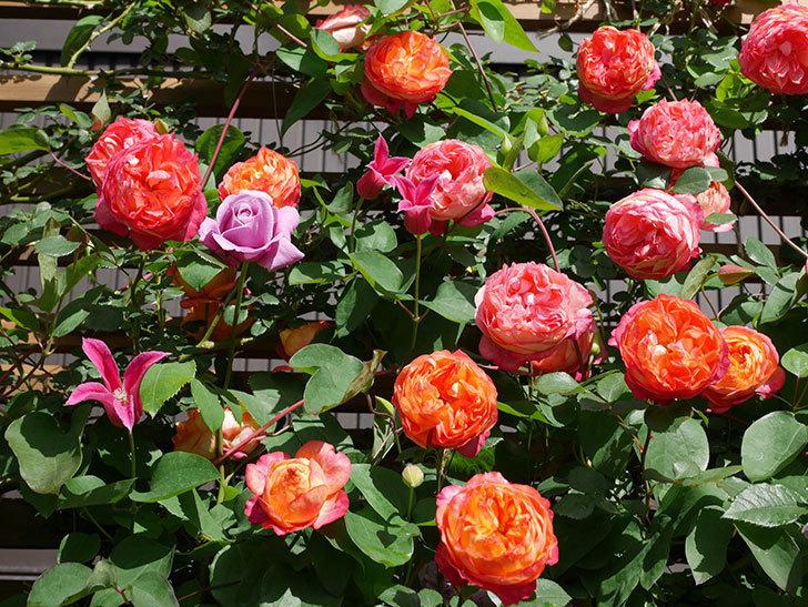 プリンセス・ダイアナ(テキセンシス系 新枝咲き)の花が増えてきた。2021年-080.jpg