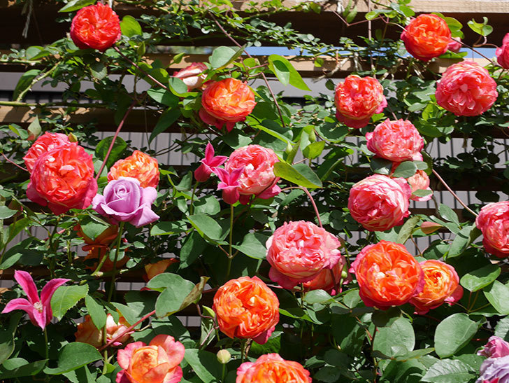 プリンセス・ダイアナ(テキセンシス系 新枝咲き)の花が増えてきた。2021年-081.jpg