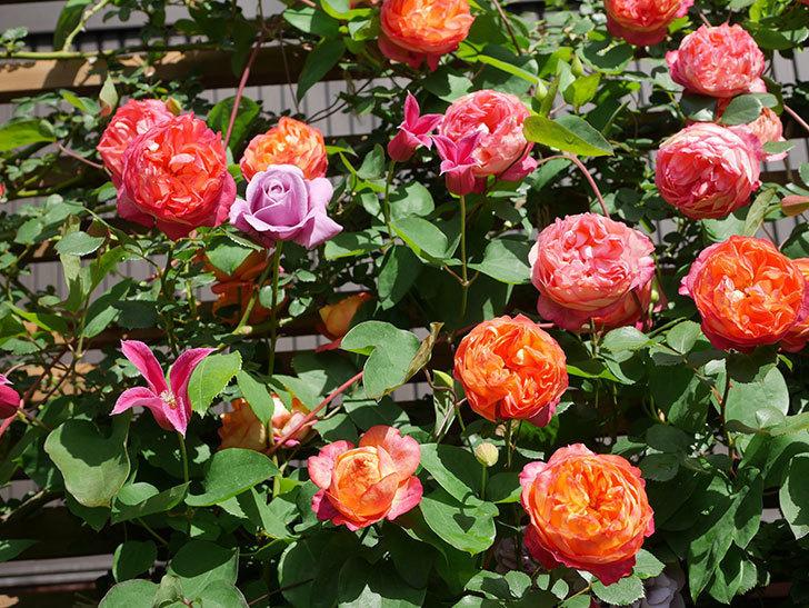 プリンセス・ダイアナ(テキセンシス系 新枝咲き)の花が増えてきた。2021年-082.jpg