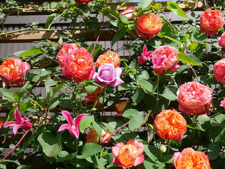 プリンセス・ダイアナ(テキセンシス系 新枝咲き)の花が増えてきた。2021年-083.jpg