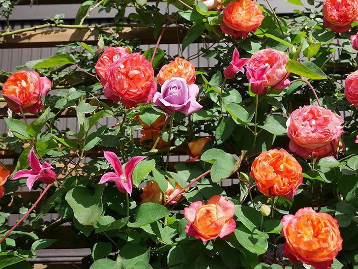 プリンセス・ダイアナ(テキセンシス系 新枝咲き)の花が増えてきた。2021年-084.jpg