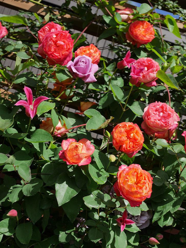 プリンセス・ダイアナ(テキセンシス系 新枝咲き)の花が増えてきた。2021年-085.jpg
