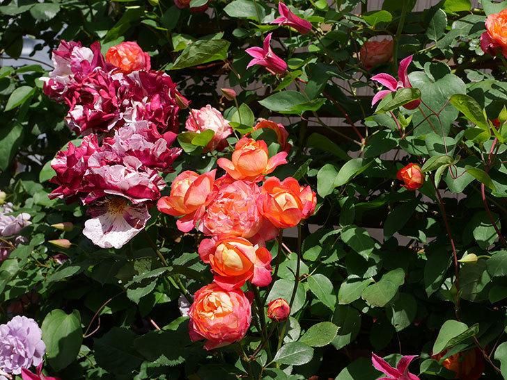 プリンセス・ダイアナ(テキセンシス系 新枝咲き)の花が増えてきた。2021年-086.jpg