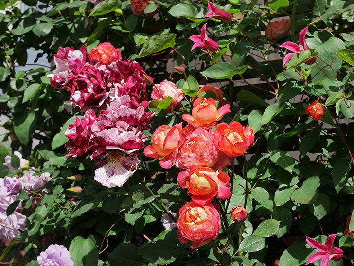 プリンセス・ダイアナ(テキセンシス系 新枝咲き)の花が増えてきた。2021年-087.jpg
