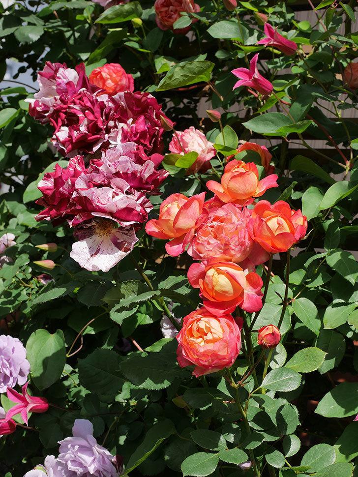 プリンセス・ダイアナ(テキセンシス系 新枝咲き)の花が増えてきた。2021年-088.jpg