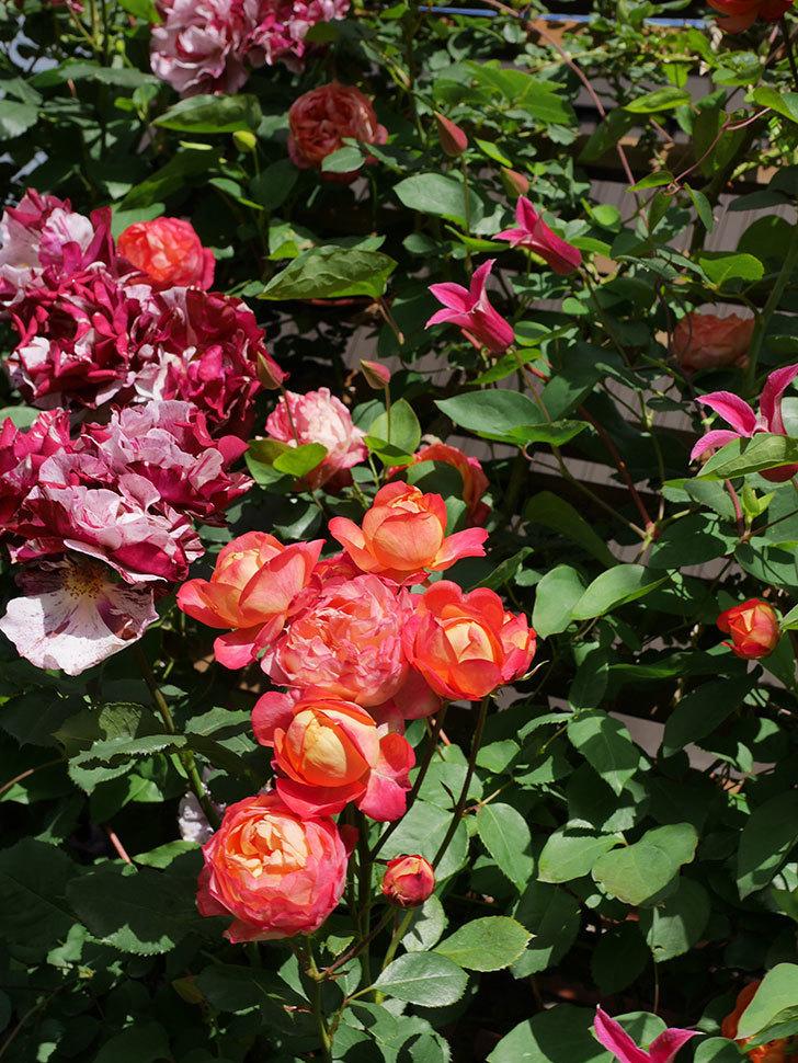プリンセス・ダイアナ(テキセンシス系 新枝咲き)の花が増えてきた。2021年-089.jpg