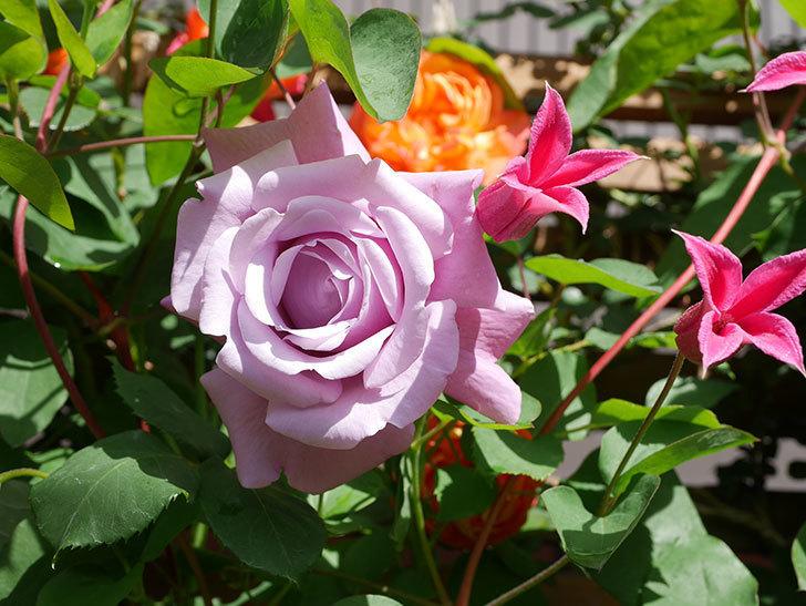 プリンセス・ダイアナ(テキセンシス系 新枝咲き)の花が増えてきた。2021年-090.jpg