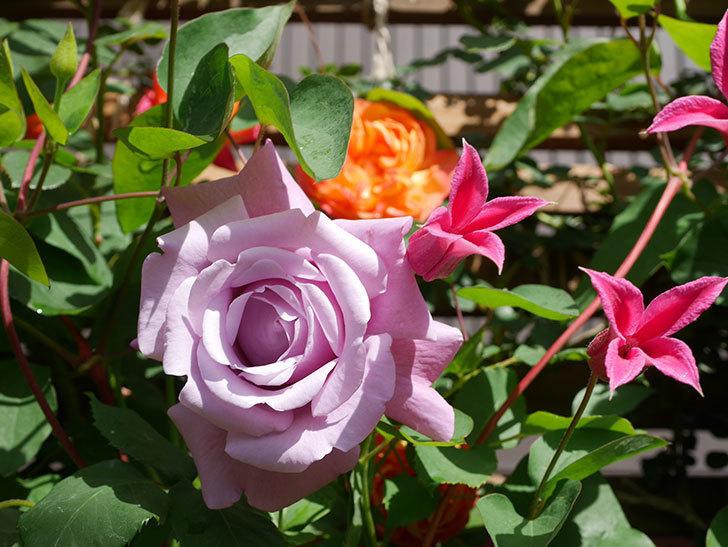 プリンセス・ダイアナ(テキセンシス系 新枝咲き)の花が増えてきた。2021年-091.jpg