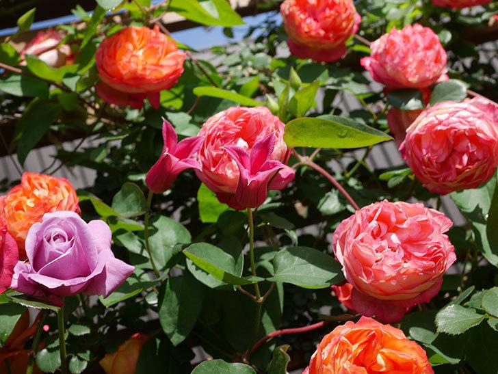 プリンセス・ダイアナ(テキセンシス系 新枝咲き)の花が増えてきた。2021年-092.jpg