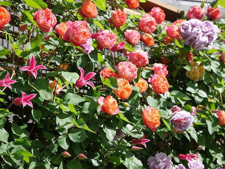 プリンセス・ダイアナ(テキセンシス系 新枝咲き)の花が増えてきた。2021年-093.jpg