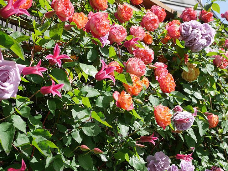 プリンセス・ダイアナ(テキセンシス系 新枝咲き)の花が増えてきた。2021年-094.jpg