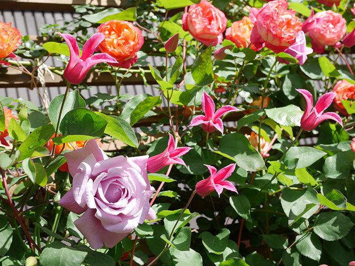 プリンセス・ダイアナ(テキセンシス系 新枝咲き)の花が増えてきた。2021年-095.jpg