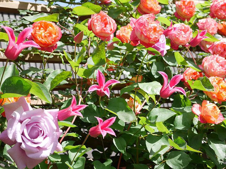 プリンセス・ダイアナ(テキセンシス系 新枝咲き)の花が増えてきた。2021年-096.jpg