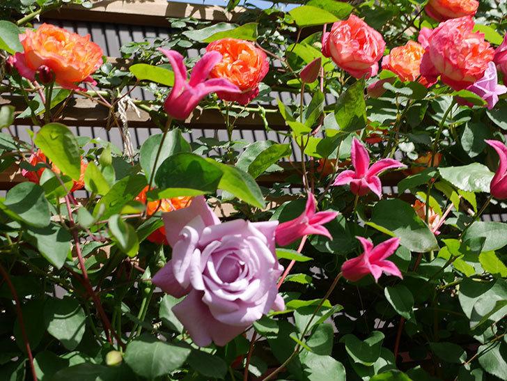 プリンセス・ダイアナ(テキセンシス系 新枝咲き)の花が増えてきた。2021年-097.jpg