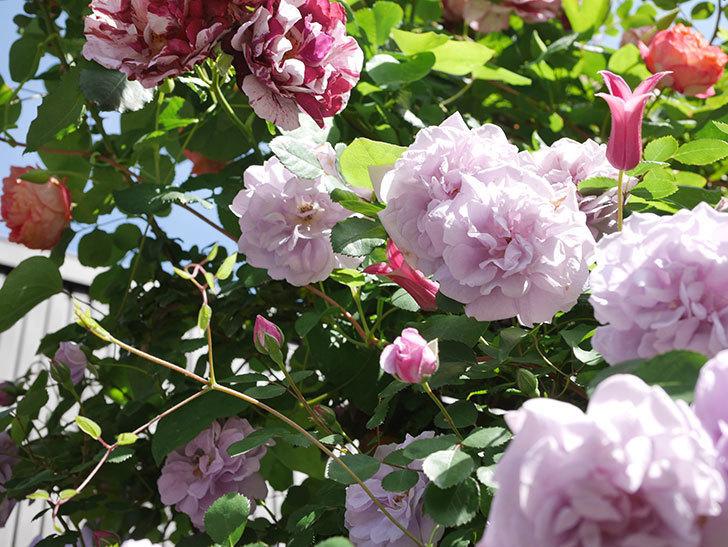 プリンセス・ダイアナ(テキセンシス系 新枝咲き)の花が増えてきた。2021年-098.jpg