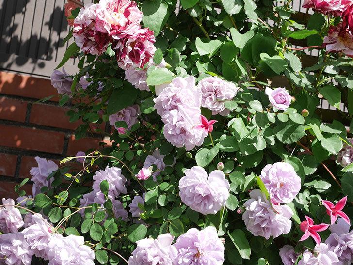 プリンセス・ダイアナ(テキセンシス系 新枝咲き)の花が増えてきた。2021年-099.jpg
