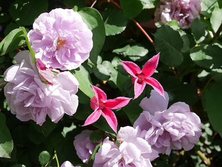 プリンセス・ダイアナ(テキセンシス系 新枝咲き)の花が増えてきた。2021年-100.jpg