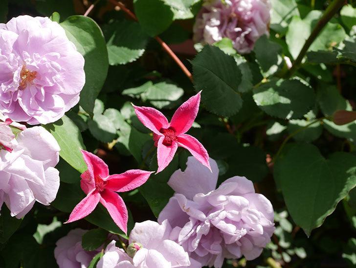 プリンセス・ダイアナ(テキセンシス系 新枝咲き)の花が増えてきた。2021年-101.jpg