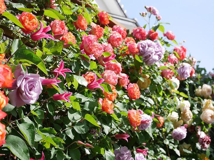 プリンセス・ダイアナ(テキセンシス系 新枝咲き)の花が増えてきた。2021年-102.jpg