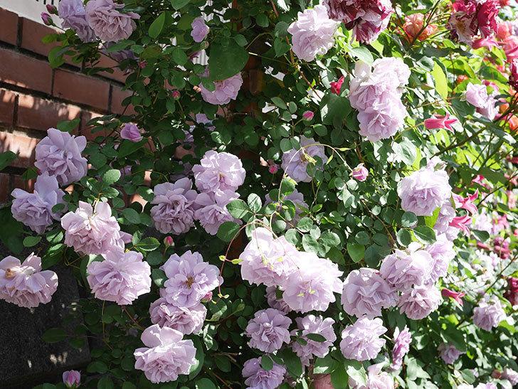 プリンセス・ダイアナ(テキセンシス系 新枝咲き)の花が増えてきた。2021年-104.jpg
