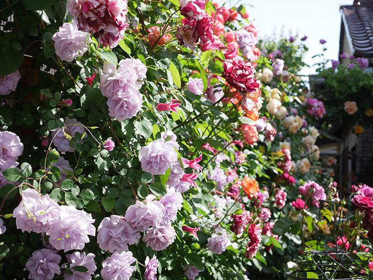 プリンセス・ダイアナ(テキセンシス系 新枝咲き)の花が増えてきた。2021年-108.jpg