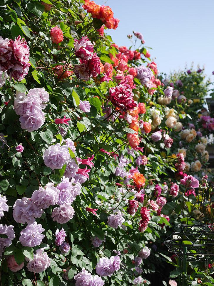 プリンセス・ダイアナ(テキセンシス系 新枝咲き)の花が増えてきた。2021年-110.jpg