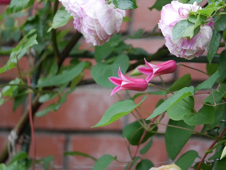 プリンセス・ダイアナ(テキセンシス系 新枝咲き)の花が満開になった。2020年-002.jpg