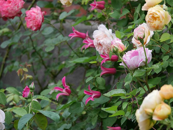 プリンセス・ダイアナ(テキセンシス系 新枝咲き)の花が満開になった。2020年-003.jpg