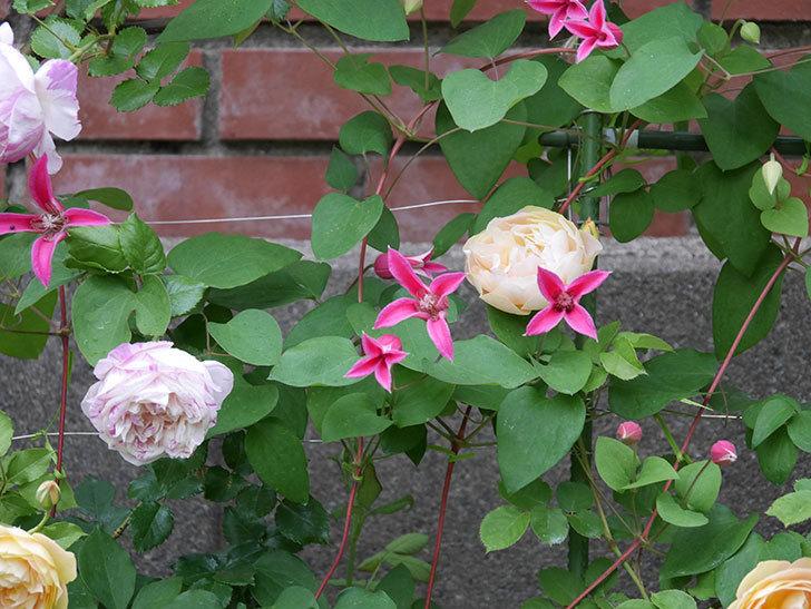 プリンセス・ダイアナ(テキセンシス系 新枝咲き)の花が満開になった。2020年-004.jpg