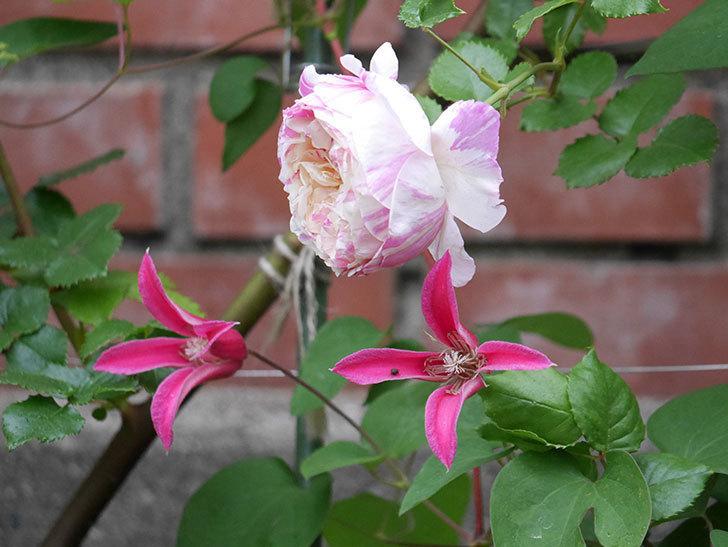 プリンセス・ダイアナ(テキセンシス系 新枝咲き)の花が満開になった。2020年-006.jpg