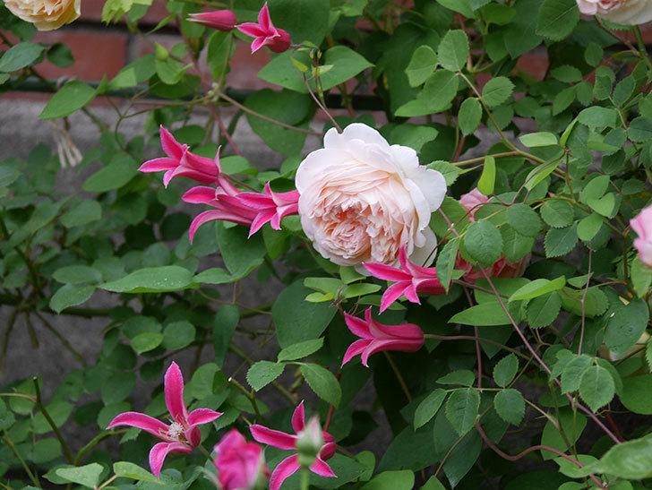 プリンセス・ダイアナ(テキセンシス系 新枝咲き)の花が満開になった。2020年-007.jpg