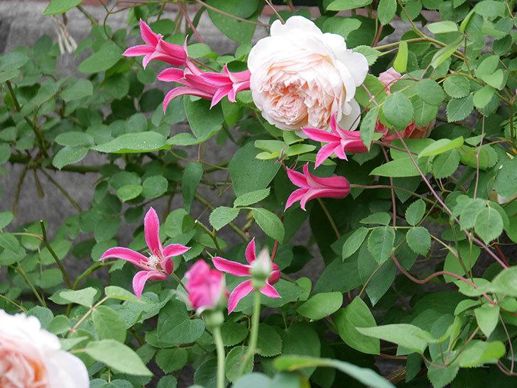 プリンセス・ダイアナ(テキセンシス系 新枝咲き)の花が満開になった。2020年-008.jpg
