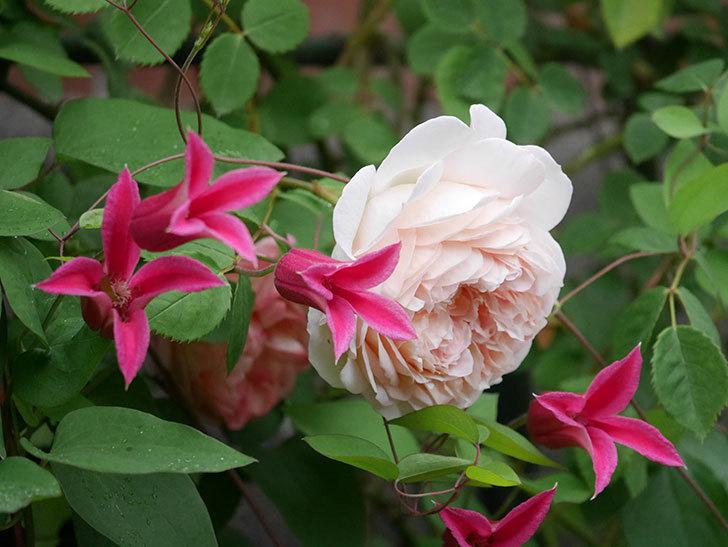 プリンセス・ダイアナ(テキセンシス系 新枝咲き)の花が満開になった。2020年-010.jpg