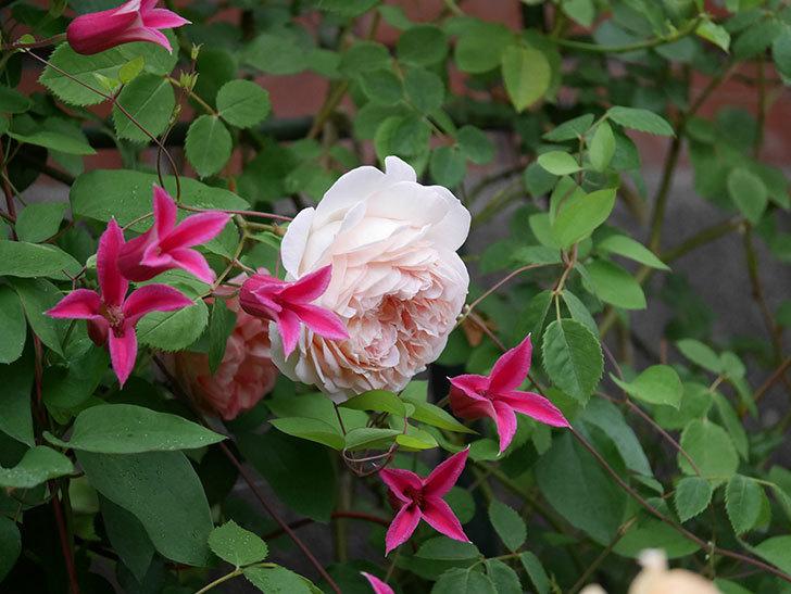 プリンセス・ダイアナ(テキセンシス系 新枝咲き)の花が満開になった。2020年-011.jpg
