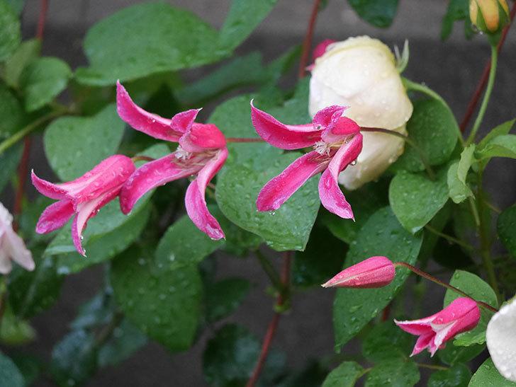 プリンセス・ダイアナ(テキセンシス系 新枝咲き)の花が満開になった。2020年-012.jpg