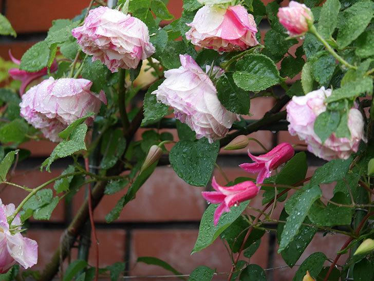プリンセス・ダイアナ(テキセンシス系 新枝咲き)の花が満開になった。2020年-013.jpg