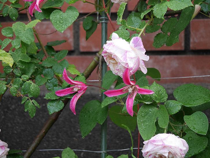 プリンセス・ダイアナ(テキセンシス系 新枝咲き)の花が満開になった。2020年-015.jpg