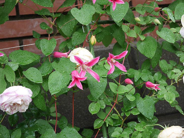 プリンセス・ダイアナ(テキセンシス系 新枝咲き)の花が満開になった。2020年-021.jpg