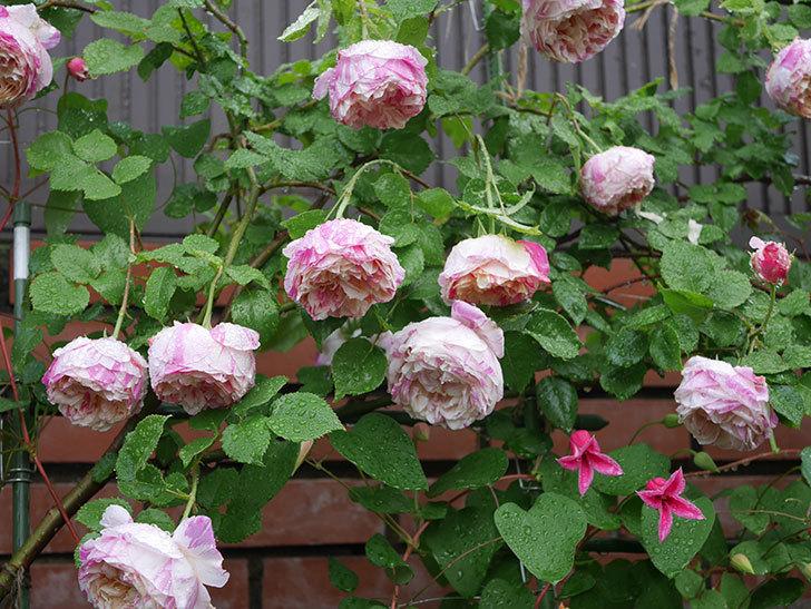 プリンセス・ダイアナ(テキセンシス系 新枝咲き)の花が満開になった。2020年-022.jpg