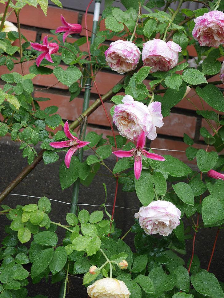 プリンセス・ダイアナ(テキセンシス系 新枝咲き)の花が満開になった。2020年-023.jpg