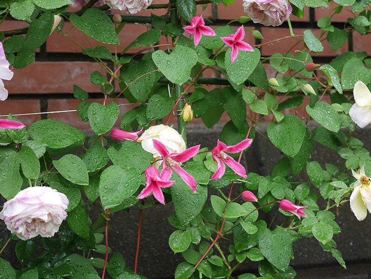プリンセス・ダイアナ(テキセンシス系 新枝咲き)の花が満開になった。2020年-024.jpg