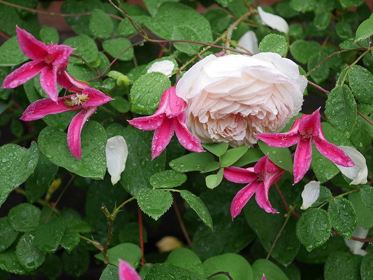 プリンセス・ダイアナ(テキセンシス系 新枝咲き)の花が満開になった。2020年-025.jpg