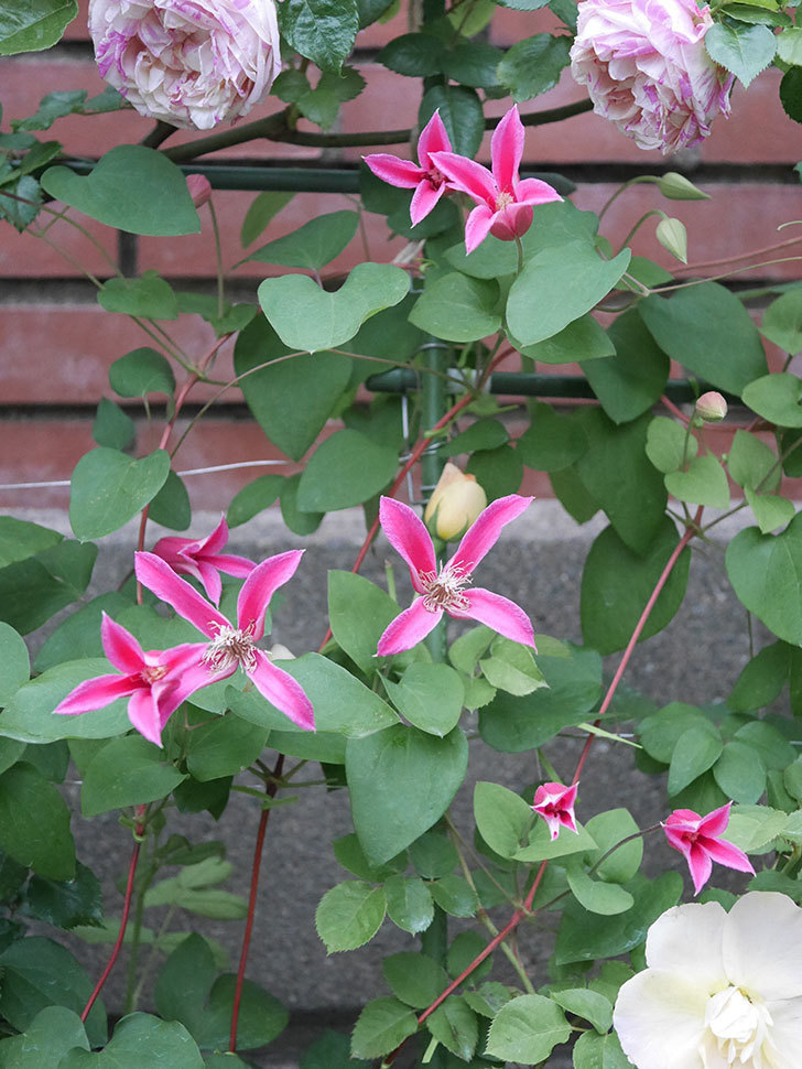 プリンセス・ダイアナ(テキセンシス系 新枝咲き)の花が満開になった。2020年-029.jpg
