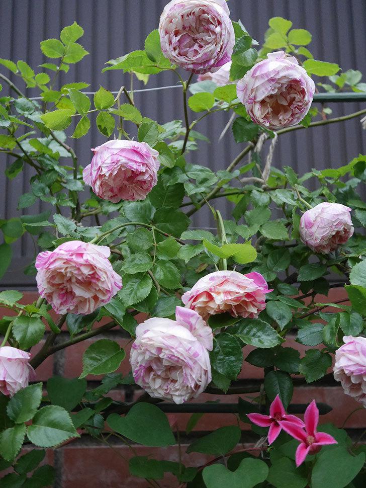 プリンセス・ダイアナ(テキセンシス系 新枝咲き)の花が満開になった。2020年-030.jpg