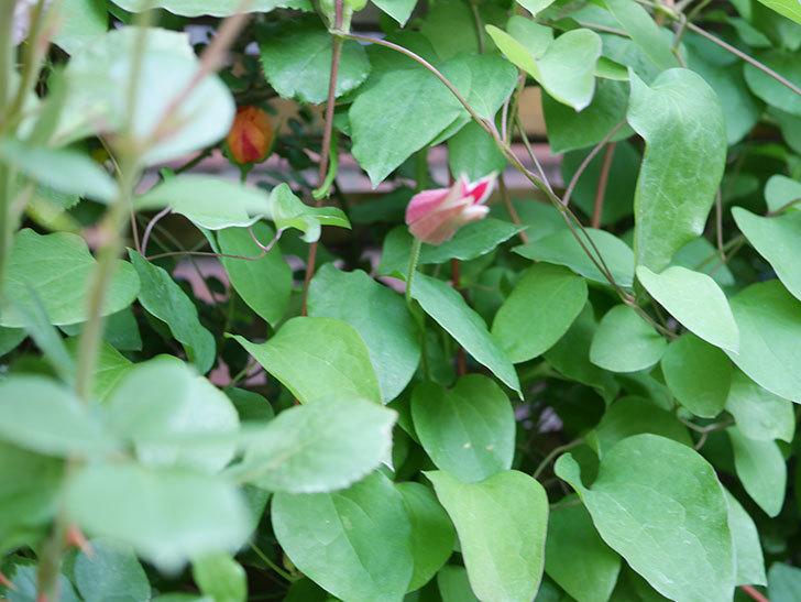 プリンセス・ダイアナ(テキセンシス系 新枝咲き)の蕾が開いてきた。2021年-001.jpg