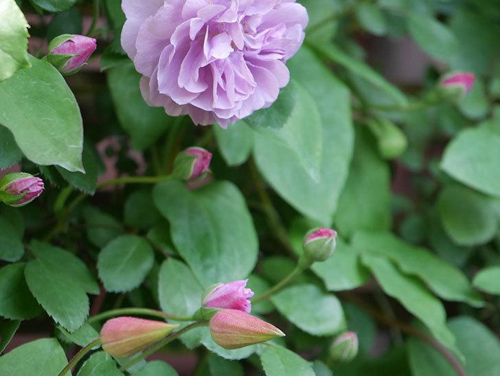 プリンセス・ダイアナ(テキセンシス系 新枝咲き)の蕾が開いてきた。2021年-003.jpg