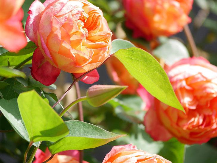 プリンセス・ダイアナ(テキセンシス系 新枝咲き)の蕾が開いてきた。2021年-013.jpg