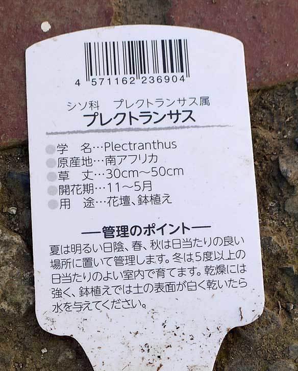 プレクトランサス-ピンククリッカーがホームズで100円だったので4個買って来た5.jpg
