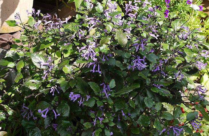 プレクトランサスモナラベンダーが、また咲いた。2015年-1.jpg