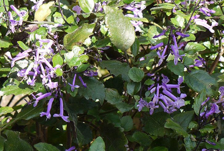 プレクトランサスモナラベンダーが、また咲いた。2015年-3.jpg